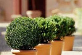 Emplacement Buis boule à louer - Plante - plantes - fleur - arbuste - pot - décoration - montage
