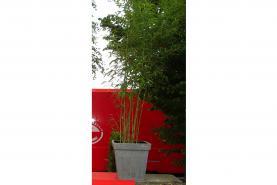 Emplacement Plante exotique - Bambou - décoration