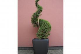 Emplacement Pante - Buis en spirale - décoration