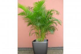 Emplacement Plante exotique - petit palmier - décoration