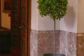 Emplacement Laurier boule à louer - Plante - plantes - fleur - arbuste - pot - montage - décoration