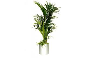 Emplacement Palmier - Plante - Fleur - décoration