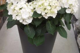 Emplacement Plante fleurie pour votre événement - décoration