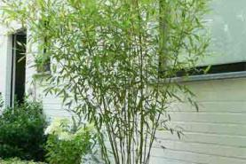 Emplacement Plante Bambou - Plantes pour événement