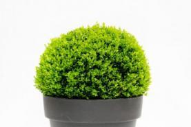 Emplacement Plante boule de buis - Plantes pour événement