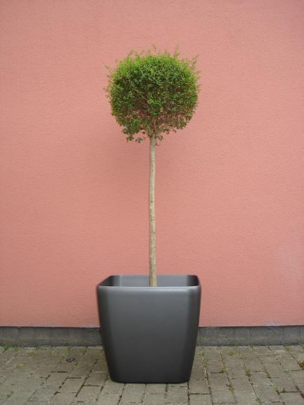 Location Plante - Buis pour événement - décoration
